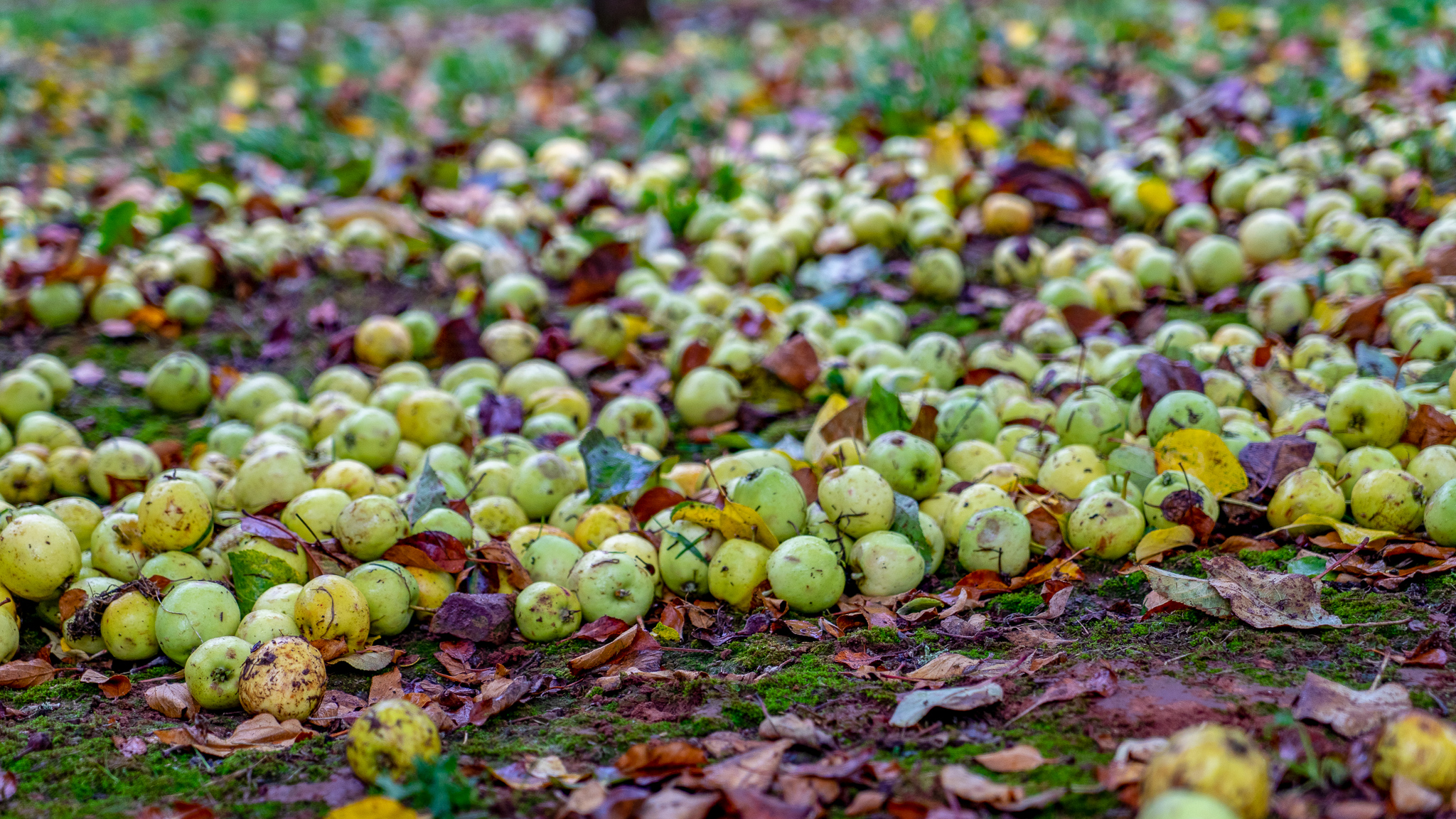 Green apples on the ground of an orchard