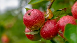 Apples on a branch in an orchard