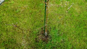Wide shot of the base of an apple tree